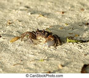 Large Dark Sand Crab looking up on ocean beach background
