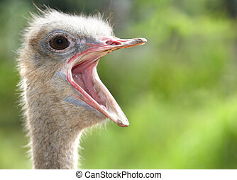 Portrait of ostrich. - Portrait of ostrich outdoor.