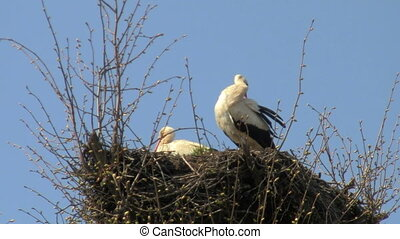 storks - stork cleans feathers