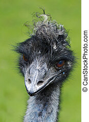 Wildlife and Animals - Emu  - Emu bird portrait.