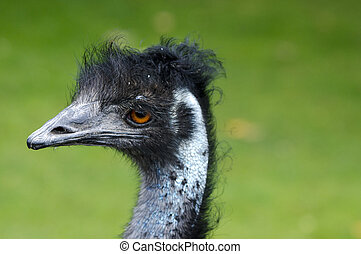 Wildlife and Animals - Emu  - Emu bird profile.