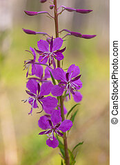 fireweed close up in a sunny day