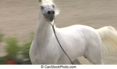 arab horse close up 03 - Arab horse slow motion