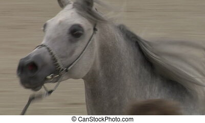 arab horse close up 01 - Arab horse slow motion