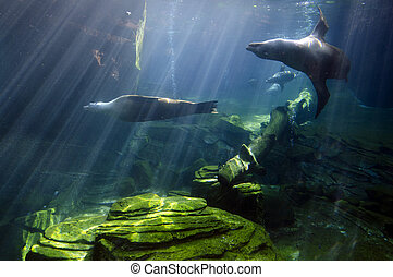 Wildlife and Animals - Sea Lions - Sea Lions swims...