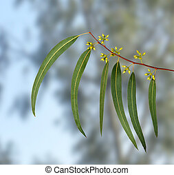 eucalipto, rama