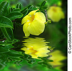 water - Tropical yellow flower reflected in water...
