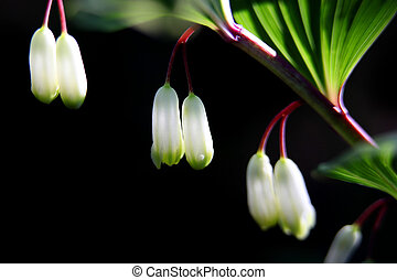variegated solomon's seal - Variegated Solomon's seal...