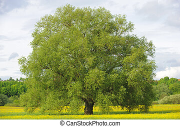 big single willow tree in spring