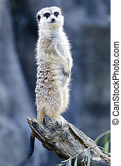 Wildlife and Animals - Meerkat - Meerkat - Suricata...