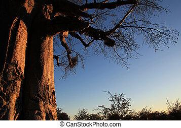 Baobab Tree, Makgadikgadi Pans, Botswana