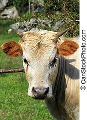 Cow - Close up shot od cow at pasture