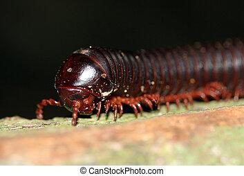 Millipede Close-up, Taman Negara, Malaysia