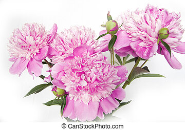 Pink peony Macro - Pink peony petals, covered with dew Macro...