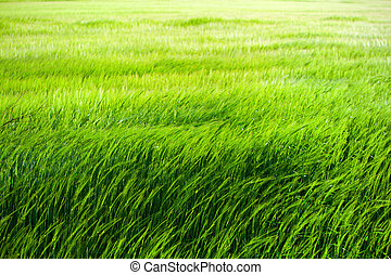 Green grass field - Green grass field blowing in the wind