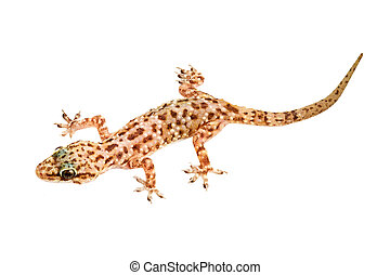 Mediterranean house gecko isolated on white background...