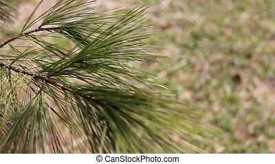 Pine Tree Branch - Branch of pine tree swaying in the wing