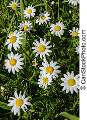 Natual daisies - Natural daisies on a bright sunny day.