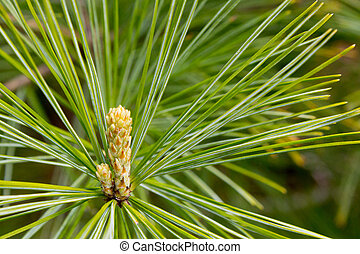 Emerging Growth on Pine Tree - Close-up of emerging growth...