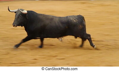 Powerful spanish bull, bullfight ar
