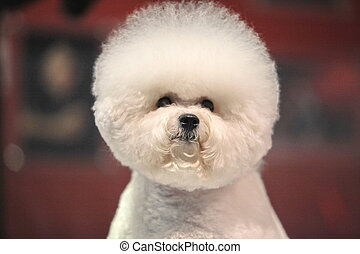 Bichon Frise - little white Bichon Frise sits and stares...