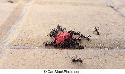 group of black ants eating a sweet