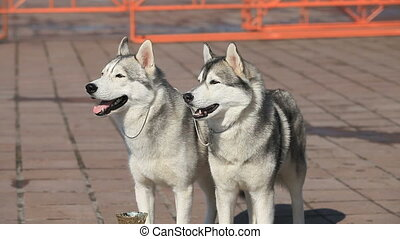 Siberian huskies - pair of Siberian huskies, close-up