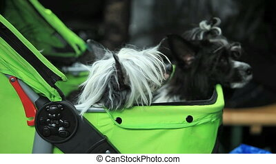 Chinese Crested Dog - pair of small shaggy dog sitting in a...
