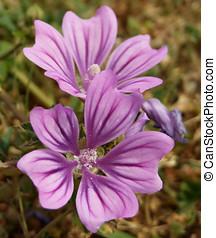 Purple Flower - Common Mallow - Common mallow european wild...