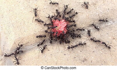 concept nature, survival, group of black ants eating a sweet