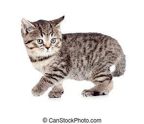 Walking british kitten isolated