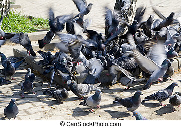 pigeons on the ground eating grain - a flock of pigeons on...