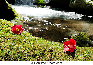 Camellia on the moss - Red wild camellia flowers on the...