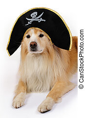 Dog dressed as a pirate - Border collie with a pirate hat