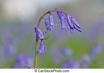 Bluebells - Close-up of bluebells in an English garden