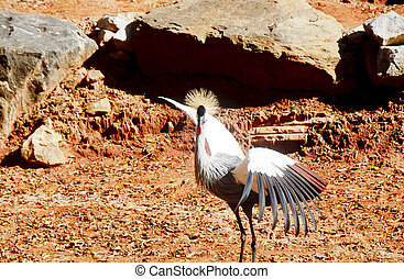 Crested Crane Flapping and Looking at Camera - A crested...