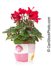 red cyclamen flower in  pot