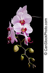 Phalaenopsis orchids blooming on a black background