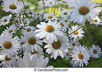 marguerites - beautiful marguerites on a summer day
