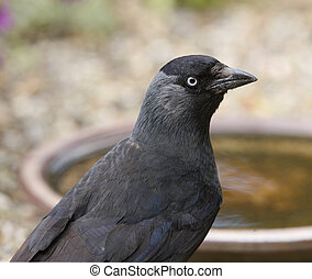 Jackdaw - Close up ogf a Jackdaw