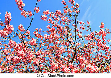 Japanese cherry tree branches against blue sky