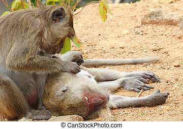 Crab-eating macaque monkey of southeast asia catch the parasite