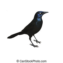Blackbird - Male Boat-Tailed Grackleon(Quiscalus Major) ,...