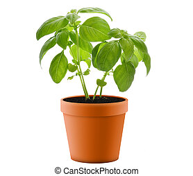 Basil Plant In A Pot - Fresh Basil Plant In A Pot
