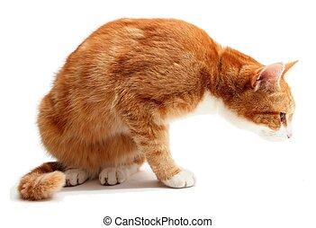 搜尋, 湯姆, 貓