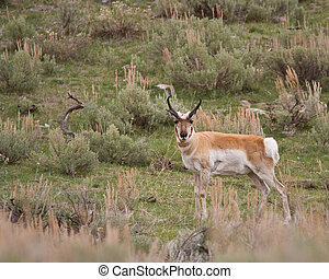 Pronghorn early spring in Yellowstone