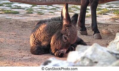 Baby donkey close up