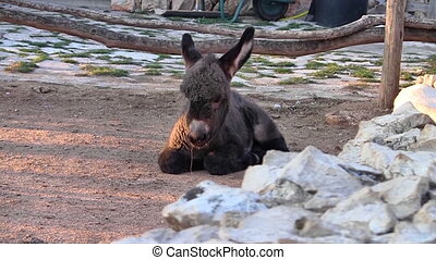 Baby donkey - Young donkey lying on the ground at farm