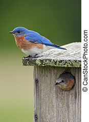 Two Bluebirds With House - A pair of Eastern Bluebirds, male...