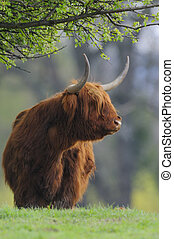 Scottish highland cow Highland cattle